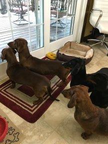 dogs-at-door