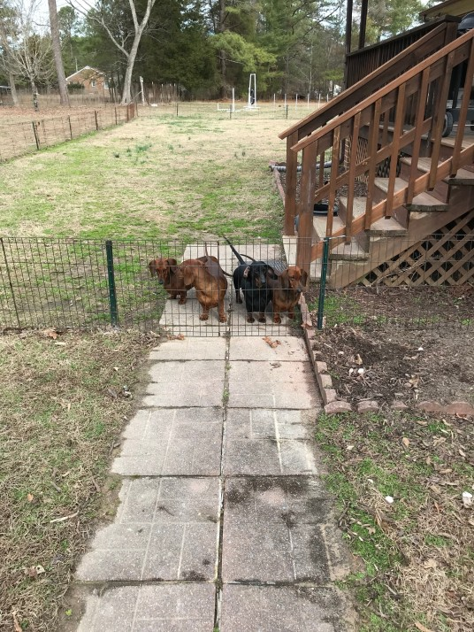 dogs-at-fence