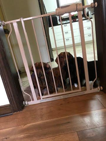 dog-behind-bars